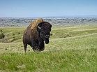 139px-Bison_Badlands_South_Dakota